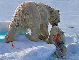 İhtiyaçları kadar yiyecek bulamayan kutup ayıları artık yavruları yemeye başladı