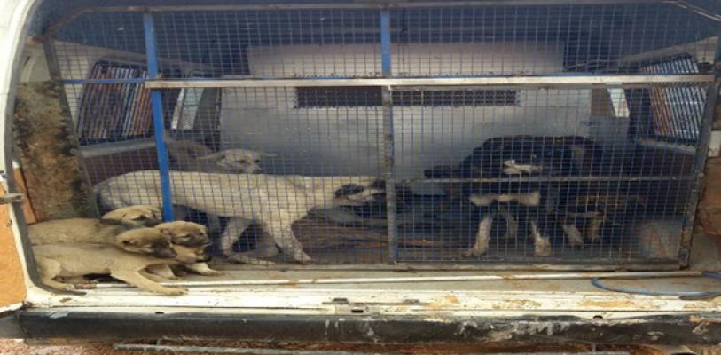 Suruç'ta sokak Hayvanları Toplatılıyor..