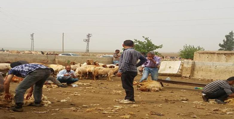 Şanlıurfa'da koyunlar Kırkmaya Başladı