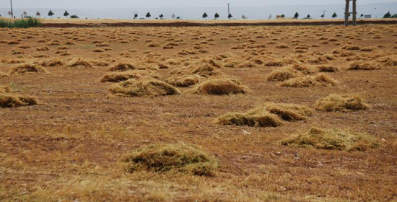 Şanlıurfa'da mercimek hasadına başlandı