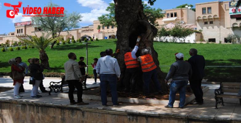 Büyükşehir'den Asırlık Ağaçlara Bakım