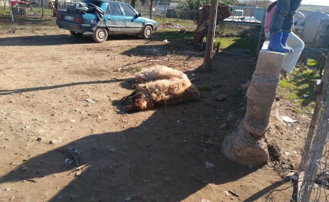 Şanlıurfa'da Ahır Çöktü: 8 Hayvan Telef Oldu