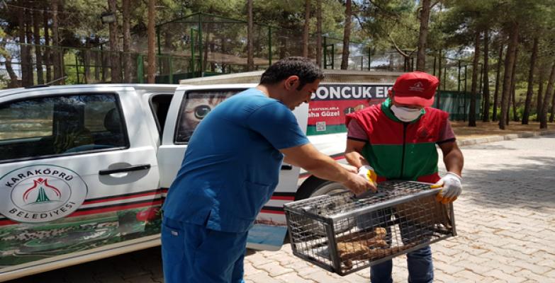 Urfa'da Nesli Tükenmekte Olan Çöl Varanı Görüldü