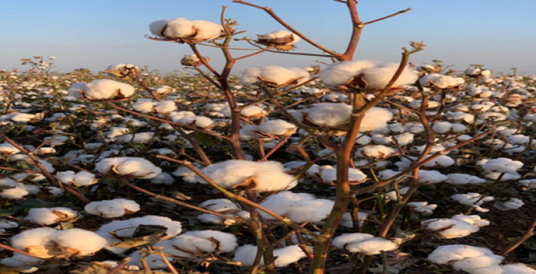 Pamuk Çiftçisi Şok Üzerine Şok Yaşarken Vurgun Yedi