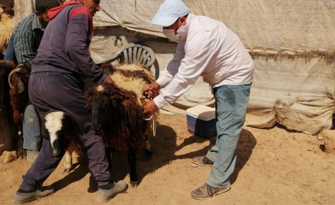 Barış Pınarında Yüzbinlerce Hayvan Hastalıklara Karşı Aşılandı