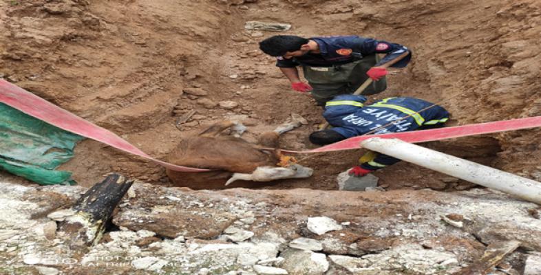 Urfa'da Foseptik çukuruna düşen ineği itfaiye kurtardı