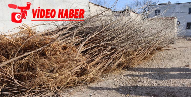 Büyükşehir Belediyesi, İpekböcekçiliği İçin Dut Ağacı Dağıtımına Başladı
