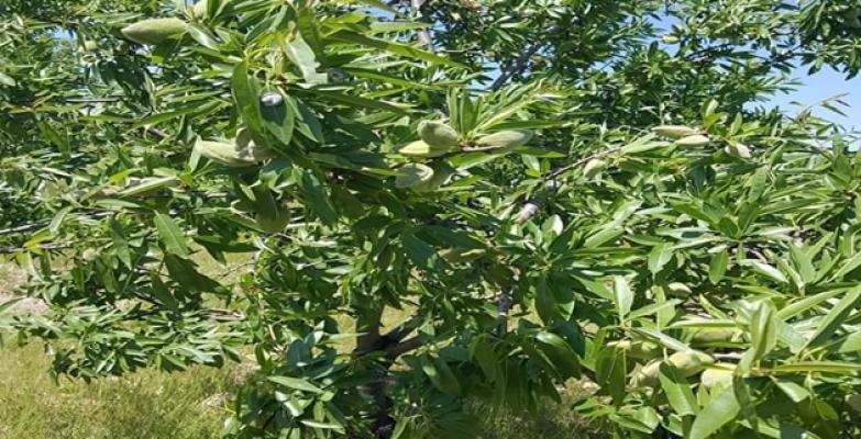 Şanlıurfa'da gelir getirici bademler meyve vermeye başladı
