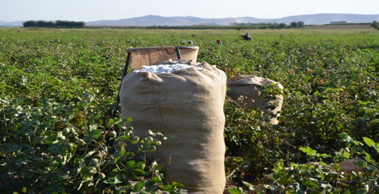 Urfa'da pamuk bu yıl çiftçiyi sevindirdi