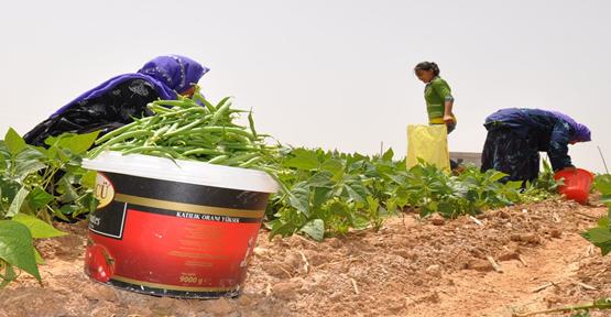 Çiftçi alternatif ürünlere yöneldi