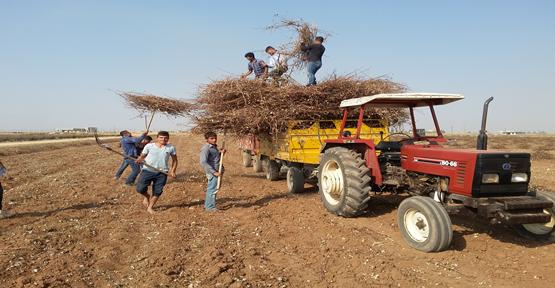 Harran'da pamuk saplarına rağbet çoğaldı