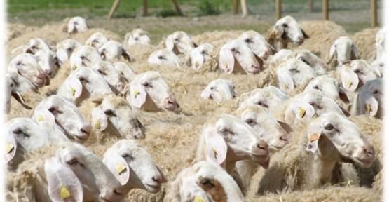 Şanlıurfa'da Küçük baş Hayvan Kaçakçılığı