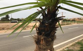 Ağaçları Hedef Aldılar 35 Palmiye Ağacı Yakılarak Tahrip Edildi