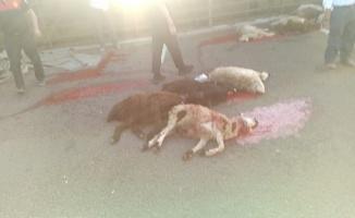 Urfa'da 42 küçük baş hayvan telef oldu