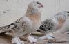 Urfa'da vazgeçilmeyen kuş merakı