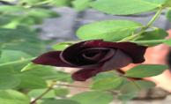 Karagül nasıl yetişir ?