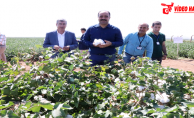 Başkan Çiftçi, Yerli Tohumla Üretilen Pamuk Hasadına Katıldı