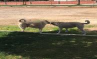Başıboş köpekler tehlike saçıyor