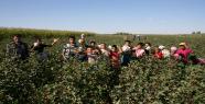 Harran'da Pamuk  Hasadı Başladı