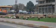 Meralarda ot olmayınca koyunlar şehre indi.