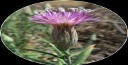 Şanlıurfa'ya Özgü Bitki 100 Yıl Sonra...