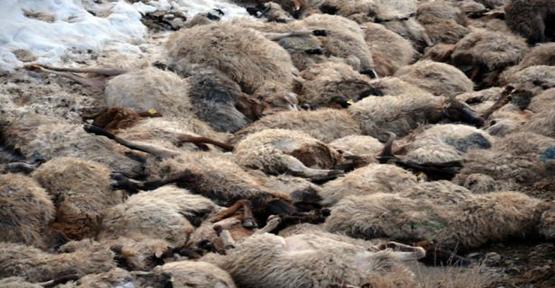 Urfa'da 230 Koyun Yanarak Telef Oldu