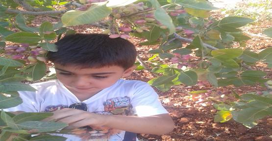 Urfa'da fıstık bolluğu