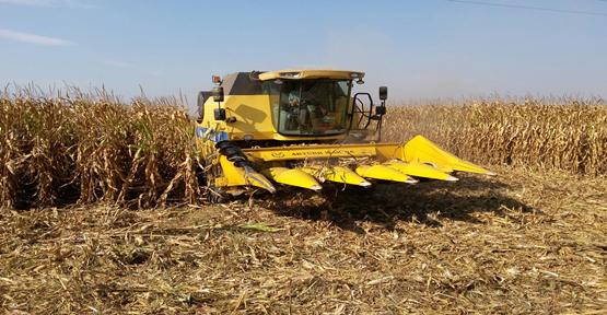 Urfa'da mısır hasadı başladı