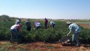 Yerli domates hasadı başladı